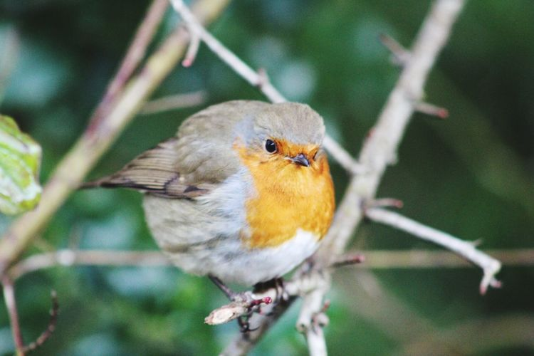 Robin Redbreast Birds Winter Trees EyEmNewHere