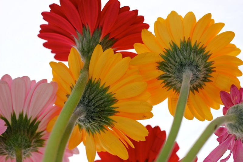 daisy study Beauty In Nature Blooming Close-up Day Flower Flower Head Fragility Freshness Growth Nature No People Outdoors Petal Plant Sky