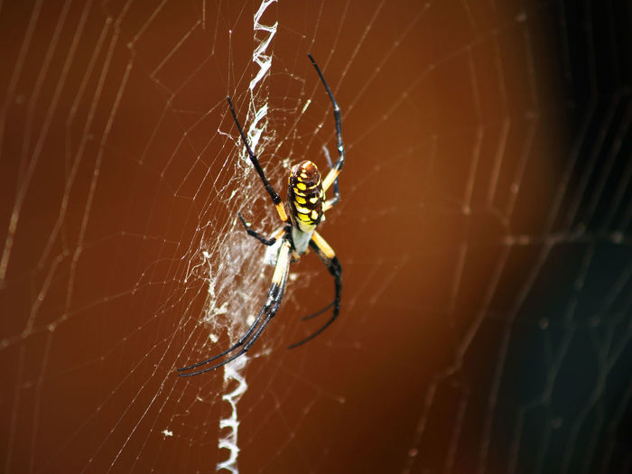 Writingspider Brown Spider Yellow Spider Webbing Animal Leg Web Complexity Full Length Insect Spider Web Spider Intricacy Survival Trapped