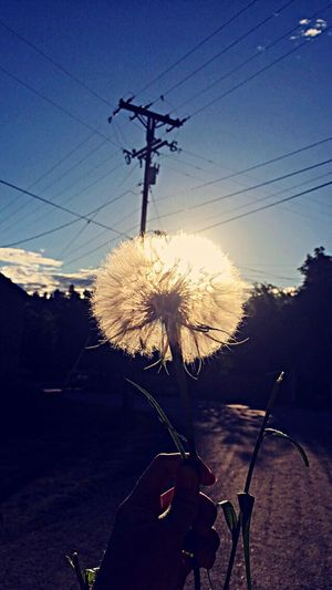 Cable Flower Nature Power Line  Outdoors Silhouette Sky Beauty In Nature Fragility Electricity Pylon No People Day Flower Head Freshness