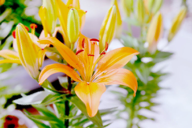Close-Up Of Lily Blooming On Plant