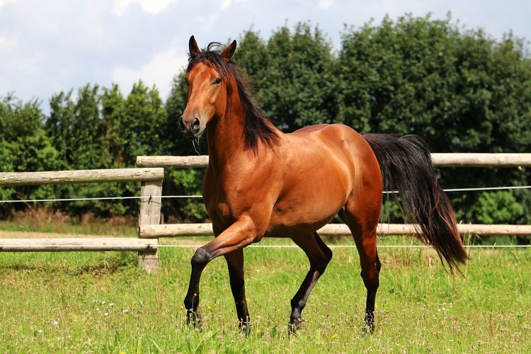 brown horse is walking on a paddock in the sunshine Quarter Horse Traben Animal Themes Brown Day Domestic Animals Field Grass Horse Koppel Livestock Mammal Nature No People One Animal Outdoors Paddock Quarter  Quarterhorse Side View Sky Tree Trot Western