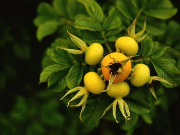 Rosehip Fruits
