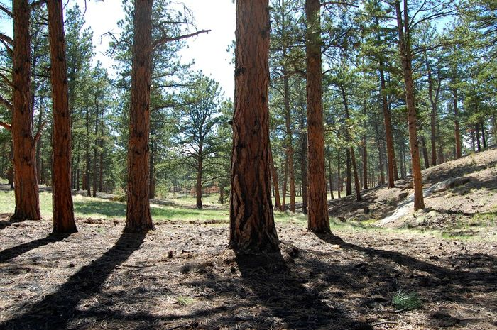 Tree Forest Tree Trunk WoodLand Nature Pinaceae Sunlight Scenics Pine Tree Day Shadow Outdoors Non-urban Scene Beauty In Nature Tranquility Landscape No People Colorado Wildernessculture The Great Outdoors - 2017 EyeEm Awards TheGreatOutdoors Greettheoutdoors Optoutside Hike Camp
