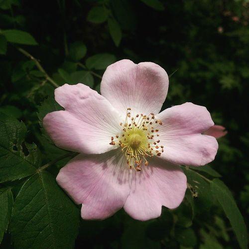 Yabani gül çiçek çiçek Flower Color photography nature doga manzara renk istanbul life htc wild rose gul