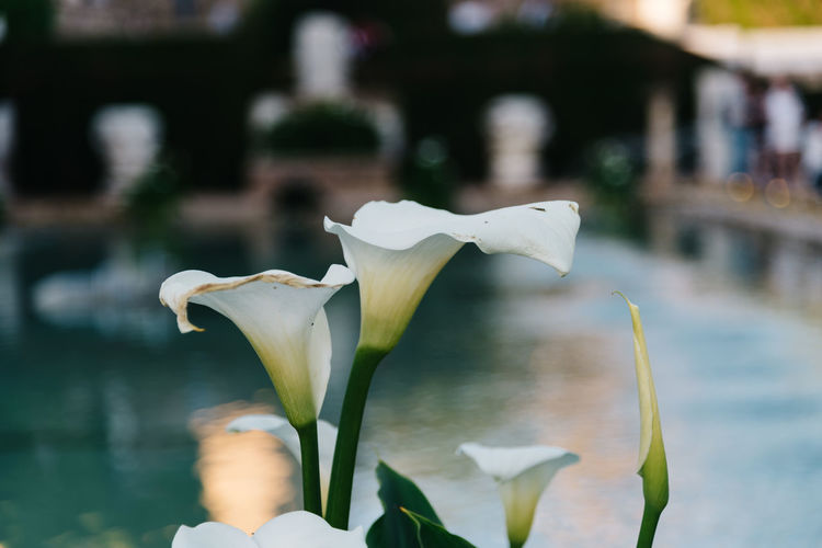 Close up of Zantedeschia aethiopica, arum lily white flower Arum Lily  Lily Zantedeschia Aethiopica Beauty In Nature Blooming Close-up Day Flower Flower Head Focus On Foreground Fragility Freshness Growth Nature No People Outdoors Petal Plant