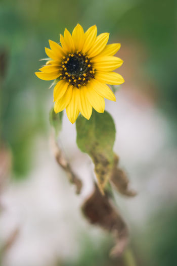 My favorite flower. Sunflower Beauty In Nature Blooming Flower Flower Head Fragility Growth Nature No People Outdoors Petal Sunflowers Yellow
