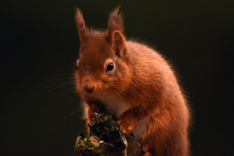 Close-up of red squirrel holding fruit