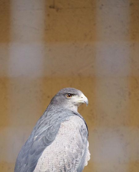Hawk looking way against orange wall