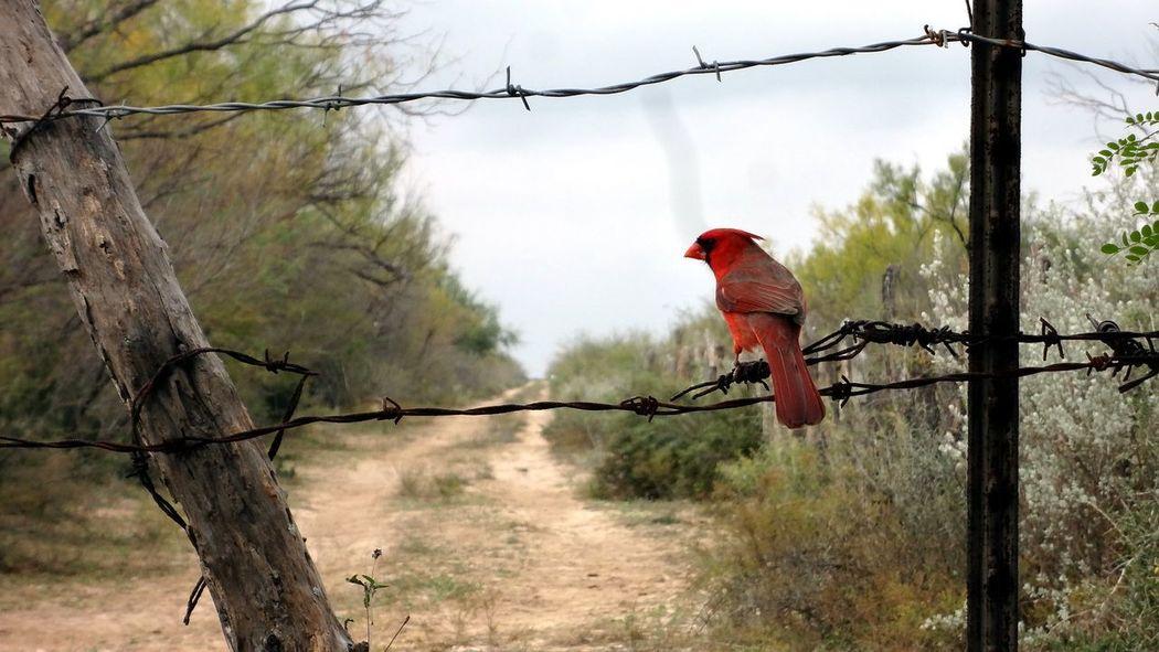 Animal Themes Bird Bird Photography Nature Nature Photography Outdoors Red Birds Redbird Redbirds EyeEmNewHere