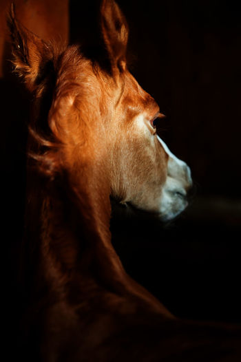 Close-up of foal in stable