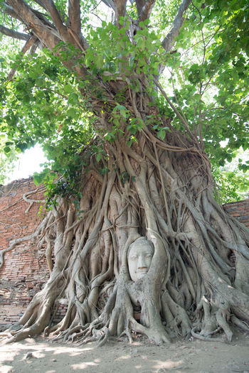 Buddha head in Ayutthaya, Thailand Thailand Ayudhaya Ayutthaya Tree Plant Growth Day Nature Root No People Art And Craft Trunk Human Representation Tree Trunk Sculpture Plant Part Low Angle View Representation Branch History Architecture Outdoors Buddha Hello World Statue