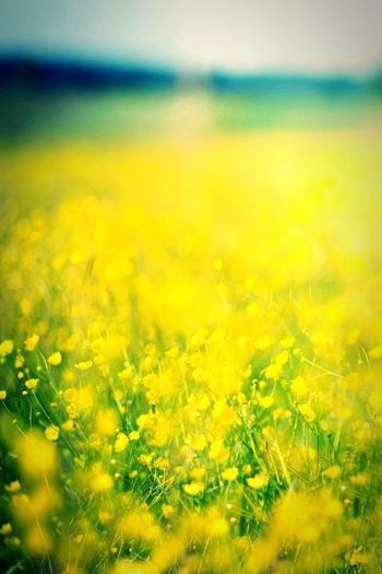 Nature Photo Yellow Flowers Yellow Flowers Nature's Diversities