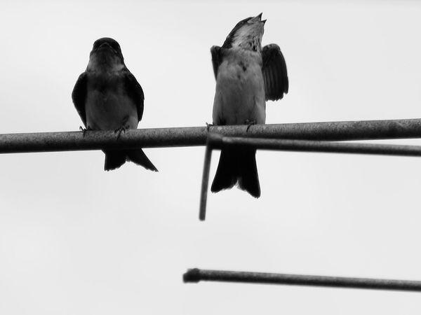 singing #photography #blackandwhite #birdphoto #Nature  #ByMe