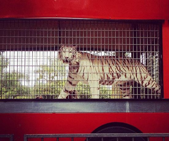 Tiger Face Majestic Animal White Color Summer Memories 🌄 Cage Indoors  No People Day Circus In Town Magicmoment