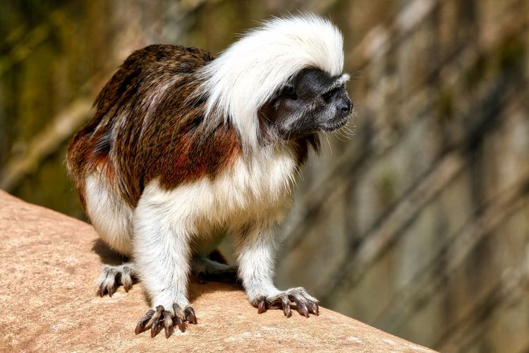 Cotton Top Tamarin Animal Animal Hair Animal Head  Animal Themes Close-up Day Focus On Foreground Mammal Nature No People Outdoors Portrait Selective Focus