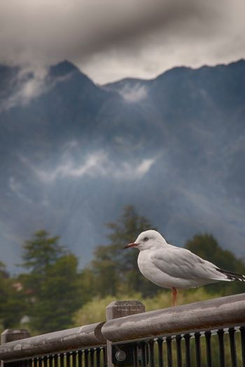 Close-Up Of Seagull Perching On Railing Against Sky