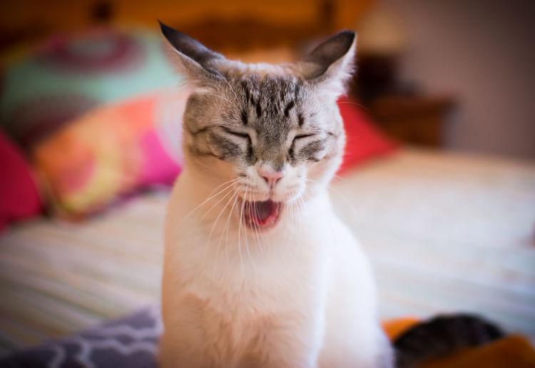 Close-Up Portrait Of Cat Yawning
