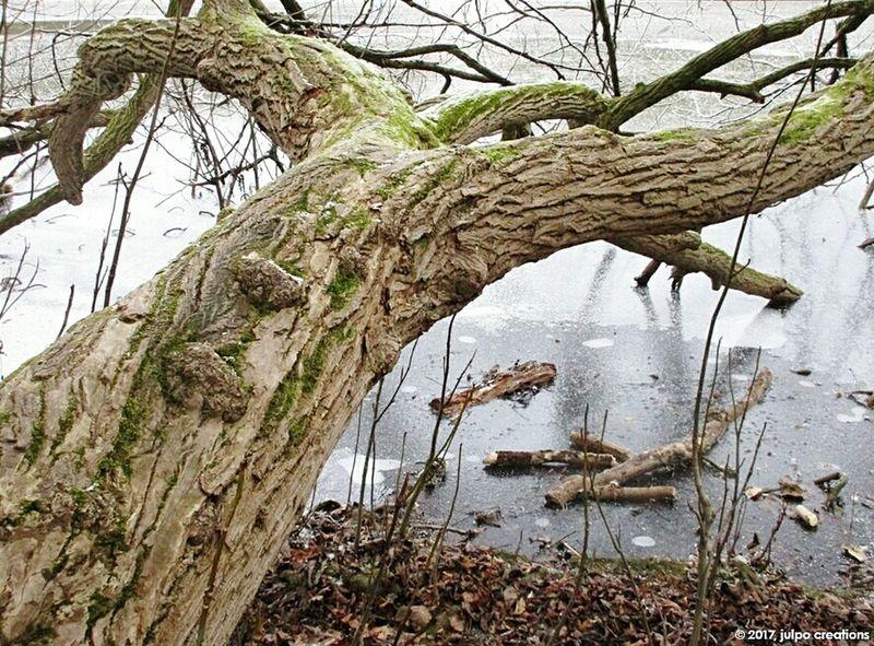 Pan's world Tree Tree Trunk Nature Branch Day Growth Lake Winter Cold Days EyeEmBestPics Beauty Frozen Frozenlake