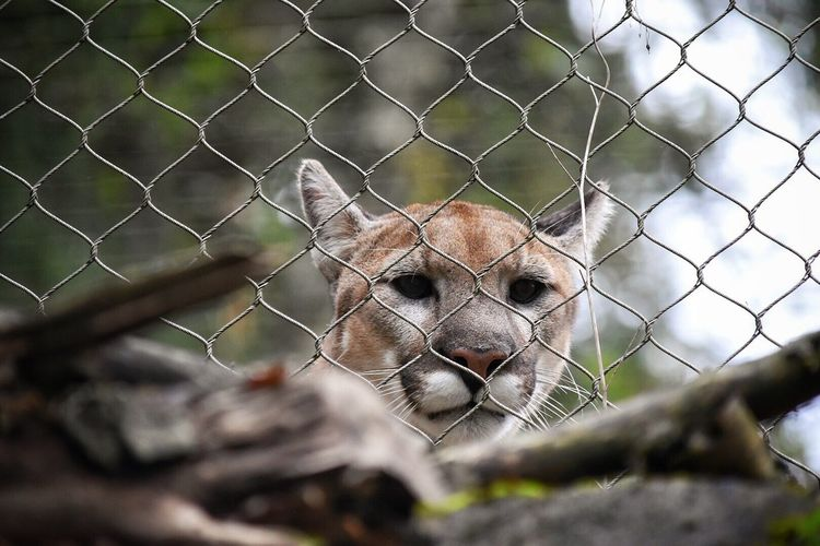 Chainlink Fence Fence Looking At Camera Portrait One Animal Animals In Captivity Animal Themes Mammal Cage Protection Zoo Outdoors Young Animal Nature Close-up No People Animals In The Wild Lion - Feline Day Cat Mountain Lion Cougar Cats Of EyeEm Predator Captivity