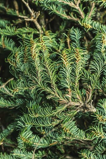 pines close up Pine Tree Pinaceae Full Frame Tree Needle - Plant Part Close-up Plant Green Color Pine Cone Coniferous Tree Fern Forest Fire Pine Woodland Plant Part Botanical Garden Treetop Needle Pine Wood Blooming Flowering Plant Spruce Tree Lush - Description Us State Evergreen Tree Frond Glade