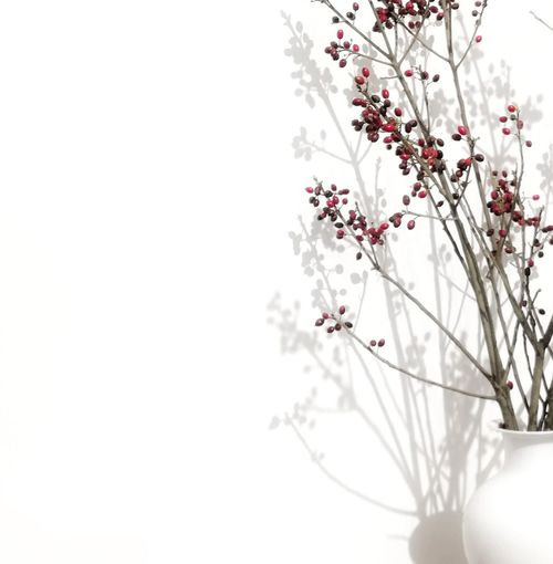 This Is Masculinity Flower Blossom Branch Tree Nature Springtime White Color Beauty In Nature Beauty Backgrounds Rural Scene Freshness Twig Plant Flower Head White Background Winter Fragility Red Outdoors