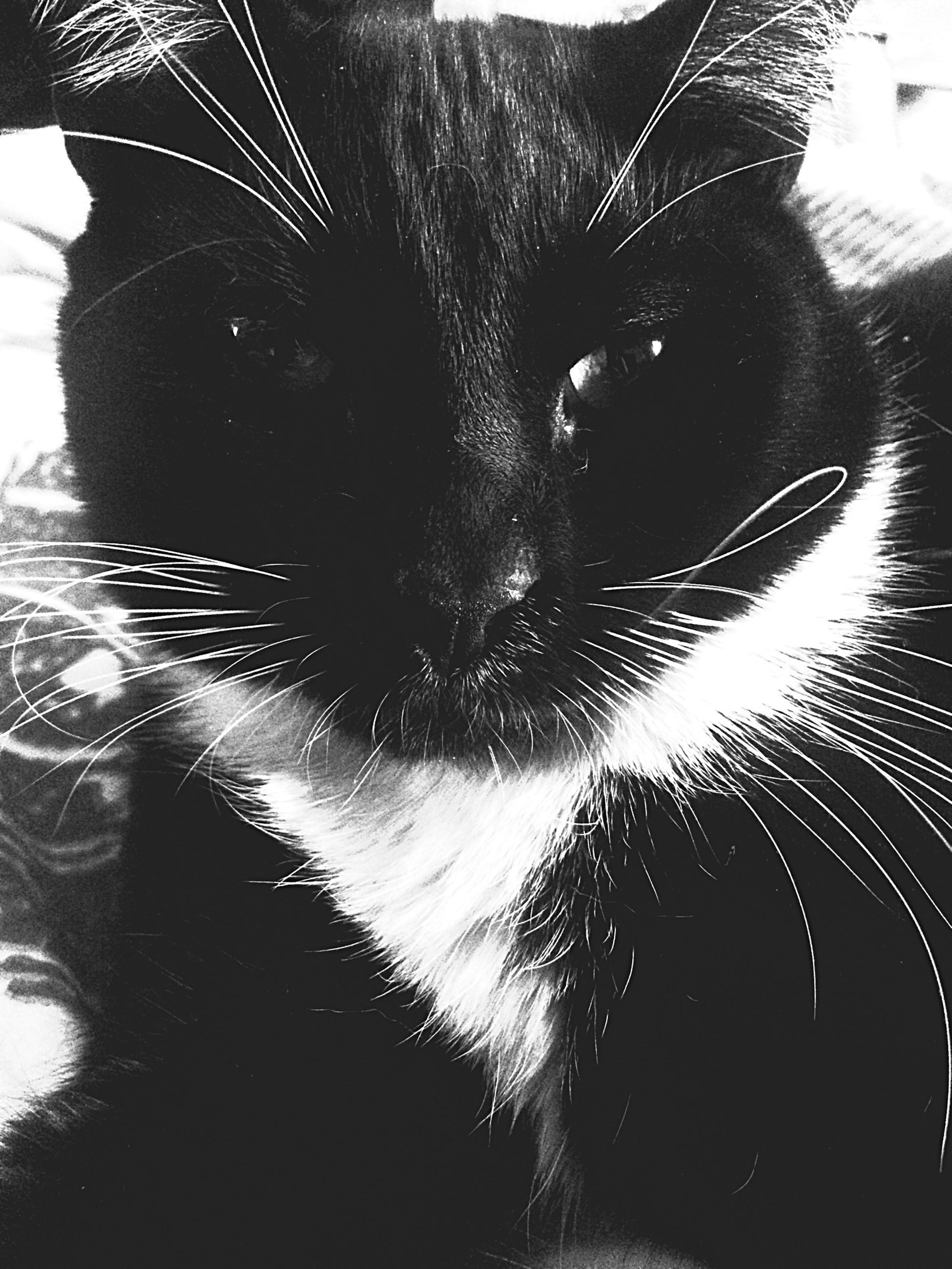 one animal, animal themes, pets, domestic animals, mammal, domestic cat, cat, feline, whisker, close-up, black color, indoors, animal body part, animal head, no people, part of, day, focus on foreground, nature