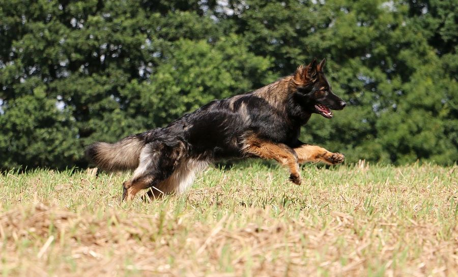german shepherd is running on a stubble field in the sunshine EyeEm Pet Active Altdeutscherhütehund Animal Themes Deutscher Schäferhund Dog Domestic Animals Fast Field German Shepherd Grass Mammal Nature No People One Animal Outdoors Pets Running Sport Stoppelfeld Stubble Field Summer