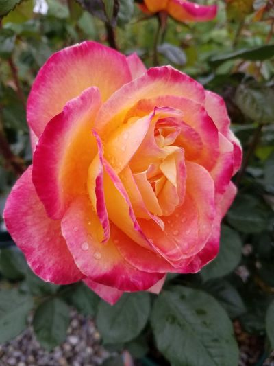 No Filter Rose