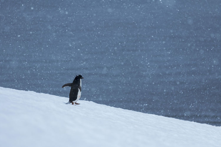 One of the largest adélie penguin colonies in antarctica is situated in hope bay, antarctica