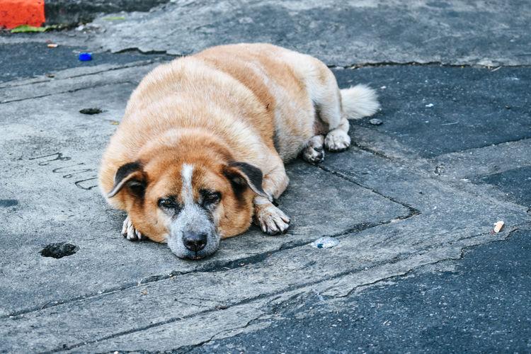 Portrait of dog resting on footpath