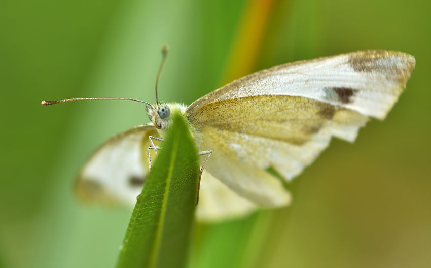 White Butterfly off a Grass Stalk Animal Wildlife Invertebrate Animals In The Wild Insect Animal Animal Themes One Animal Leaf Close-up Plant Part Green Color Selective Focus No People Beauty In Nature Plant Focus On Foreground Animal Wing Nature Moth Day Outdoors Butterfly - Insect Butterfly Animal Eye Naturelovers Nature EyeEm Nature Lover EyeEm Best Shots Nikon Nikonphotography Environment Biodiversity Perpective View Gorgeous Beauty In Nature Makro Photography Makro Sigma Lens