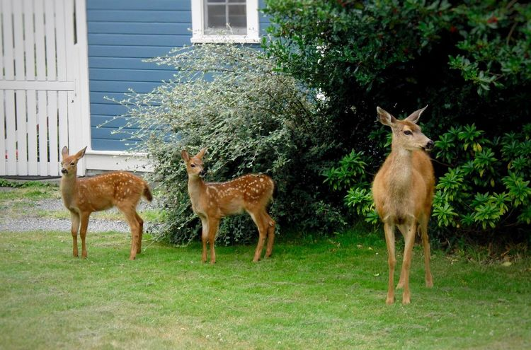 The deer rule this town and eat at the best gardens. Animal Themes Deer Animal Nature Nature_collection EyeEm Nature Lover EyeEm Best Shots EyeEm Gallery Deer Fawn Mammal Full Length Young Animal Pacific Northwest  Tadaa Community Walking Around My Point Of View