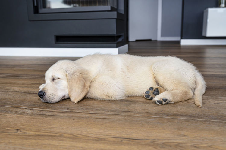 High angle view of golden retriever sleeping on floor at home