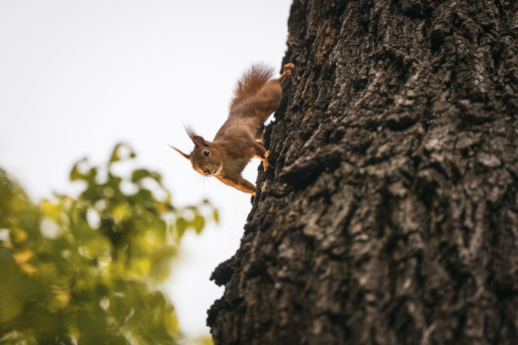 Low angle view of squirrel on tree trunk