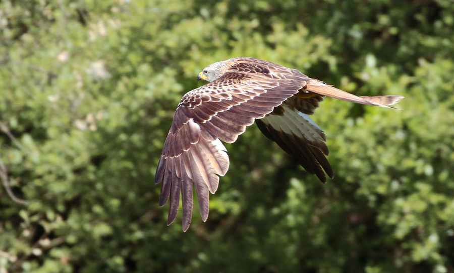 Red Kite flying by Animal Animal Themes Animal Wildlife Animal Wing Animals In The Wild Beauty In Nature Bird Bird Of Prey Close-up Day Flying Focus On Foreground Mid-air Motion Nature No People One Animal Outdoors Plant Spread Wings Vertebrate