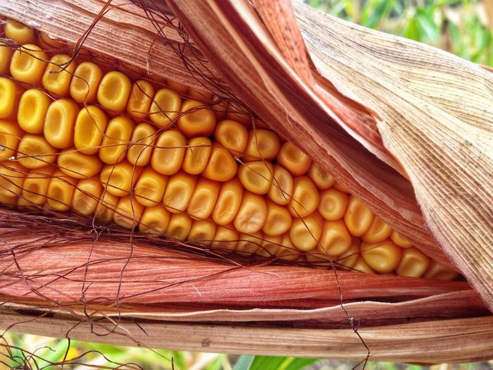 Agriculture Cereal Plant Corn Vegetable Food Food And Drink No People Close-up Healthy Eating Wellbeing Freshness Yellow Nature Day Corn On The Cob Plant Outdoors Pattern Focus On Foreground Still Life