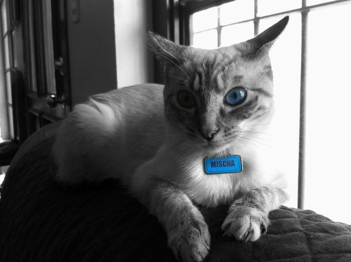 Shades Of Grey Cat Blue Eyes Blackandwhite Taking Photos Cute Pets Beautiful ♥ Animals My Cat