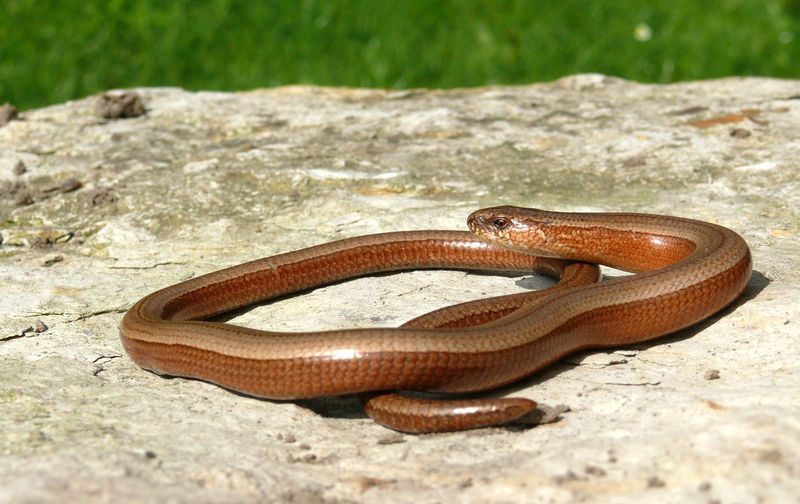 Close-up of brown snake on rock
