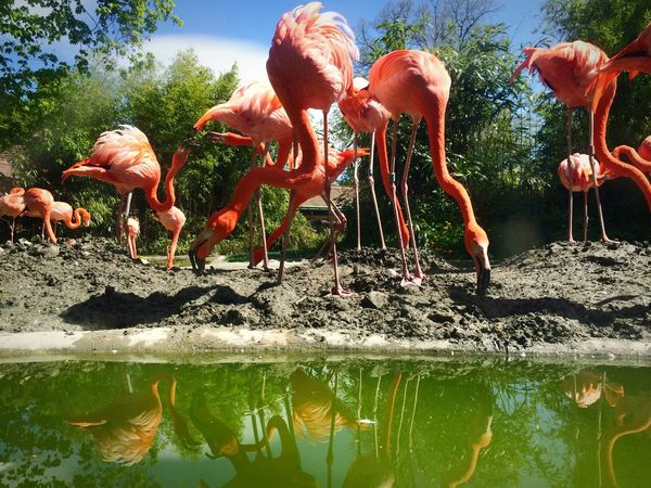 Flamingos IPhoneography Bird Photography Coral By Motorola Water Reflections Animals Open Edit Living Bold