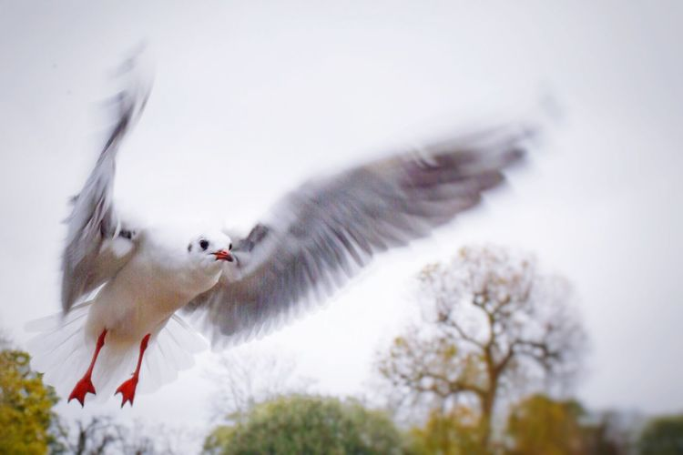 Birds In Flight Flying Seagulls Capturing Movement Wildlife A Walk In The Park Sky Birds Nature Beautiful Nature