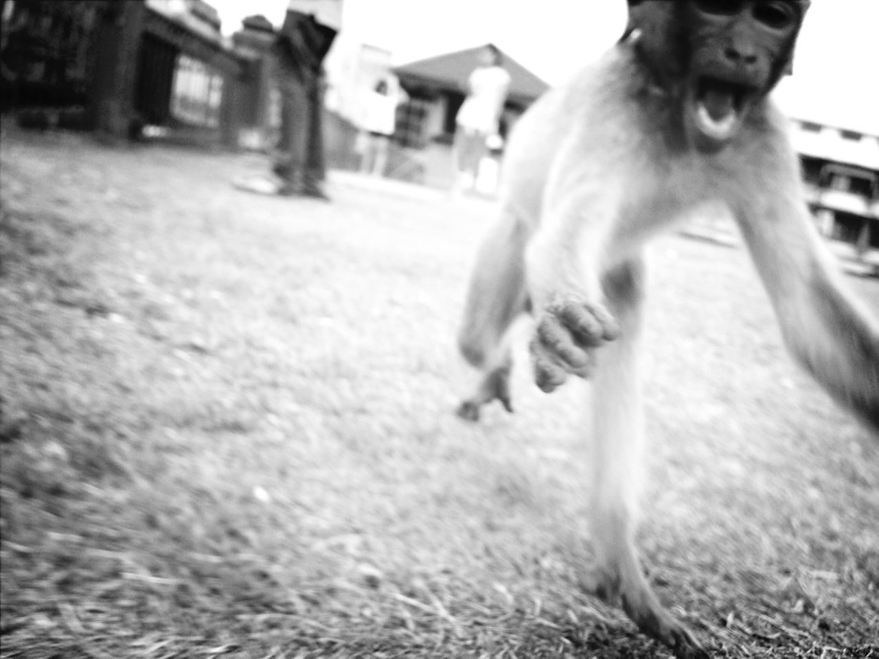 Close-up of monkey running on field