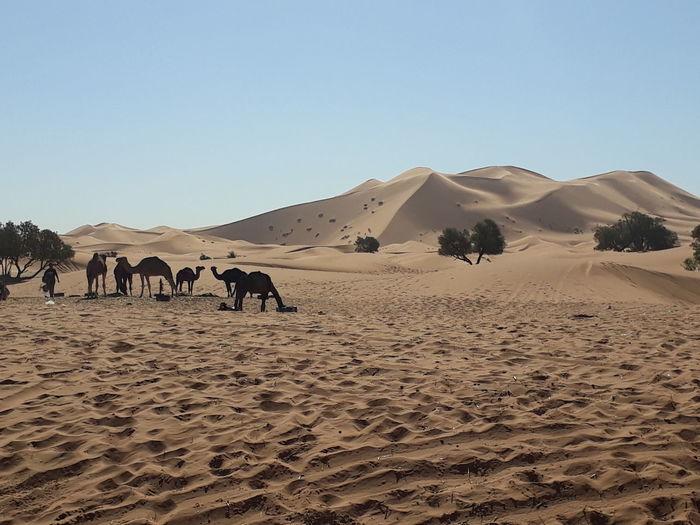 desert & camel Moroco Desert EyeEm Selects Sand Dune Clear Sky Desert Arid Climate Sand Rural Scene Pyramid Camel Sky Landscape