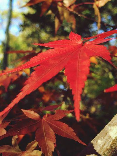 Natural Beauty EyeEm Nature Lover Autumn Autumn Leaves Red Leaves Japan Relaxing Leaves Eye4photography