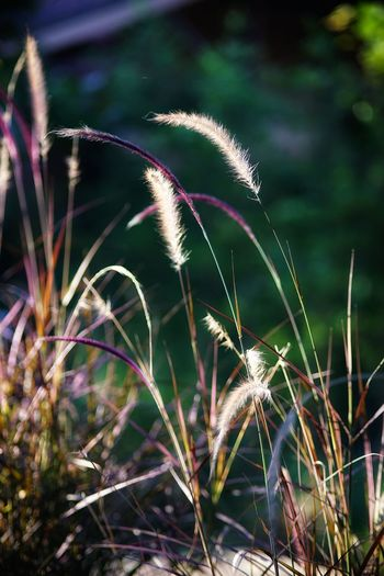 Grass Flowers Grass No People No Person Day Flower Timothy Grass Close-up Grass Plant Wildflower In Bloom Plant Life Blooming