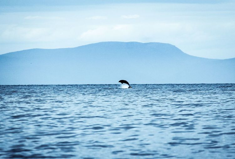 Scenic view of dolphin jumping in sea against mountain