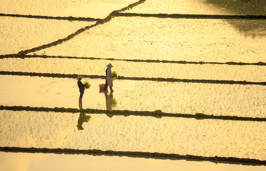 Farmers Planting Rice In The Farm Agricultural ASIA Chinese Crop  EyeEmNewHere Farmer Farming Labor Lifestyles Men Nature Occupation Outdoors Paddy People Plant Rice Field Shadow Sunlight Sunset Silhouettes Traditional Culture Two People Water Worker