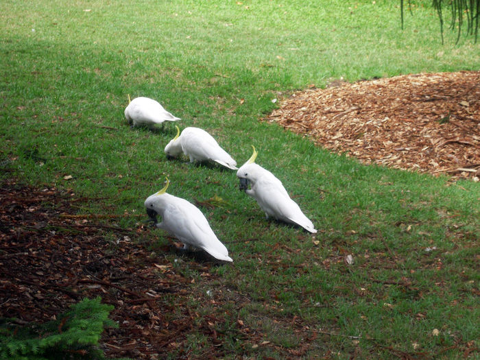 Cacatoes On Floor Cacatoes On Ground Animal Themes Animal Wildlife Bird Eating Bird On Floor Cacatoes Cacatoes Eating Cacatua Cacatuidae Four Birds Four Cacatoes Togetherness Grass White Color Yellow Crest Group Of Cacatoes Group Of Birds Cacatuas Cacatua Cacatuidae White In Color Full Length Togetherness👫👭 Outdoor