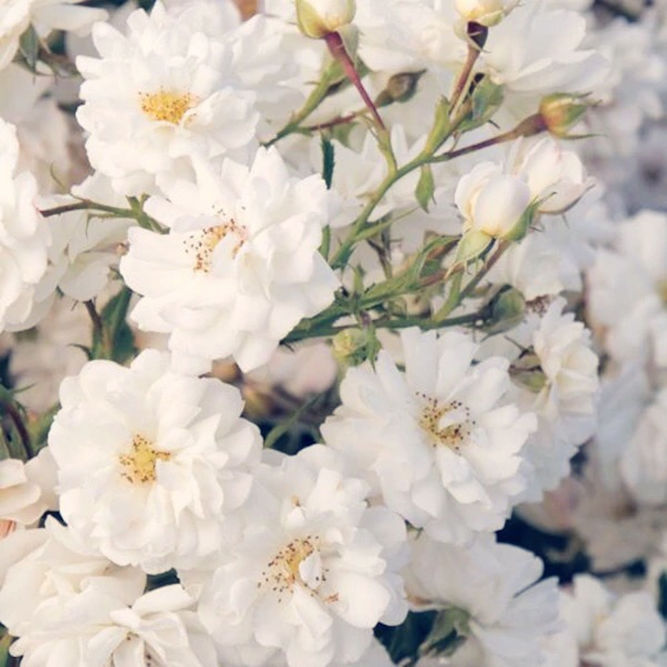 flower, freshness, fragility, white color, petal, growth, beauty in nature, flower head, nature, blossom, blooming, close-up, in bloom, focus on foreground, cherry blossom, botany, white, backgrounds, stamen, pollen
