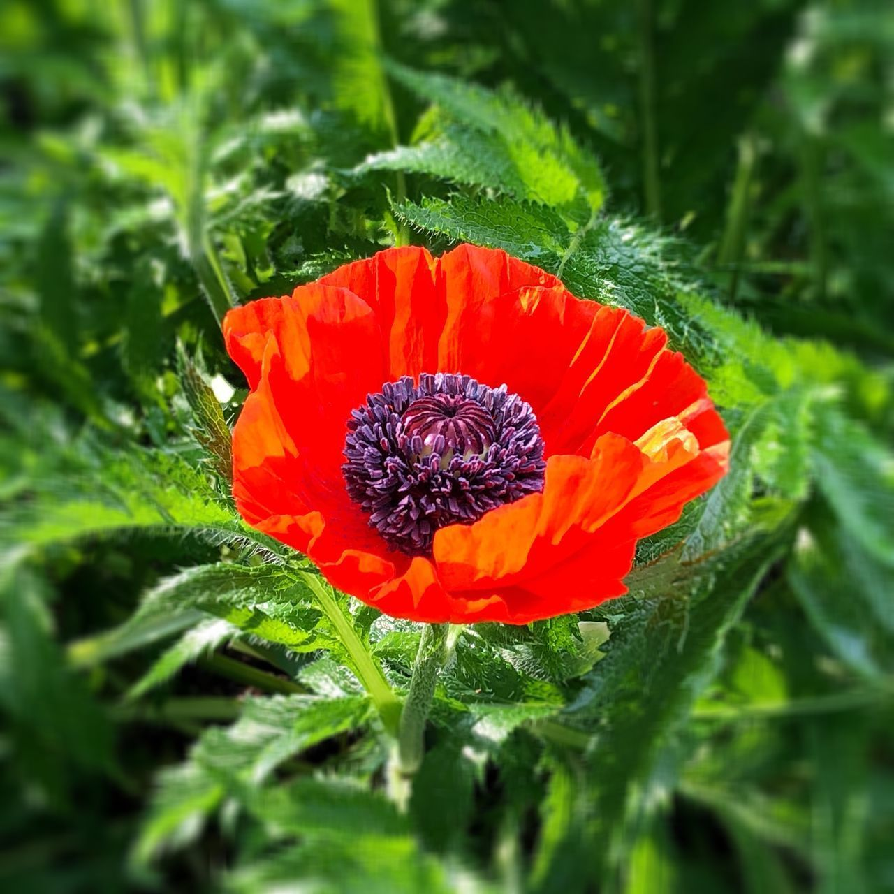 CLOSE-UP OF RED POPPY FLOWER ON PLANT